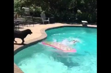 Dog Shark Jumps in the Pool