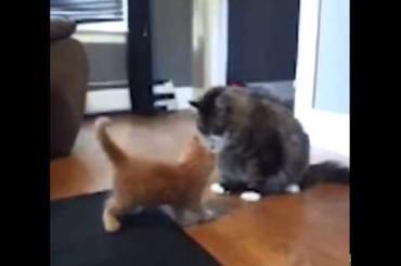 Kitten Attacks Fat Cat