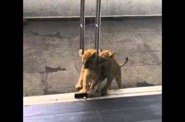 Lion Cubs Trying to Escape