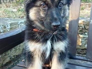 Photogenic German Shepherd Puppy