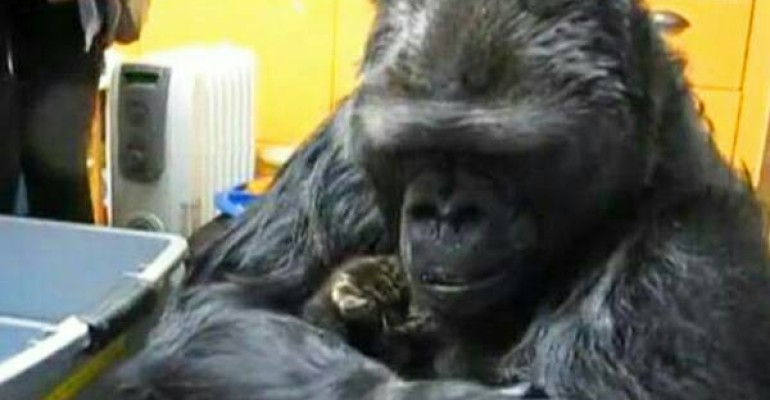 Koko the Gorilla Reacts Unexpectedly when She Receives Those Kittens as a Birthday Gift
