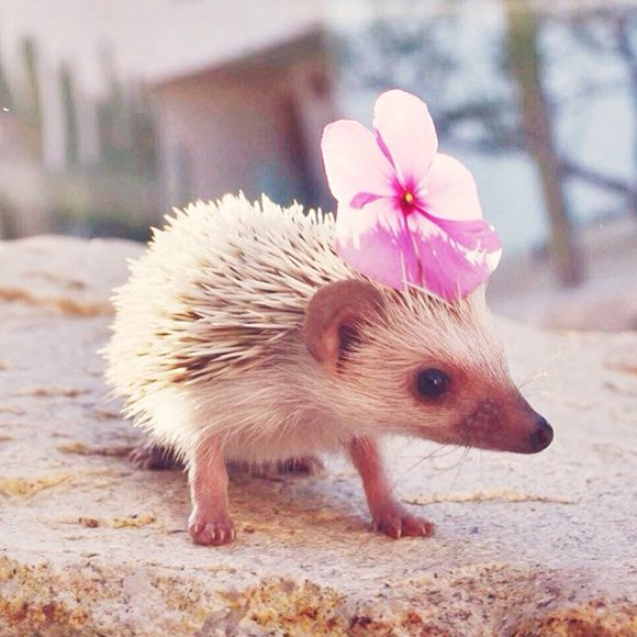 hedgehogs-25