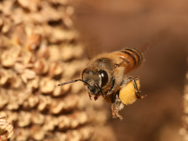 Why Do Bees Die After Stinging You?