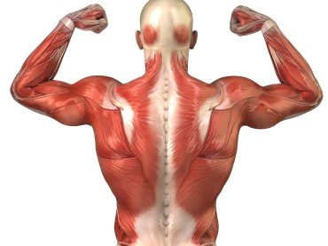 On Average, How Many Of Our Muscles Do We Use Regularly?