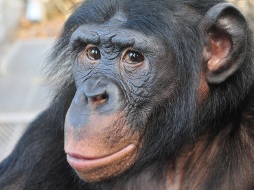 Do Apes Have The Ability To Talk Like Humans?