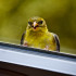 What Makes Birds Fly Into Windows?