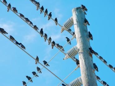 How Do Birds Avoid Electrocution?