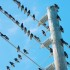How Do Birds Avoid Electrocution?