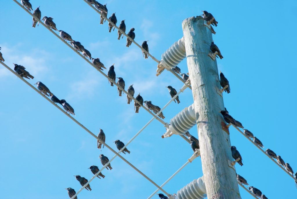 Birds-on-electrical-wire