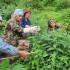 Why Do Stinging Nettles Stay Under Your Skin?