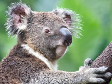 Why Do Koalas Sleep So Much?