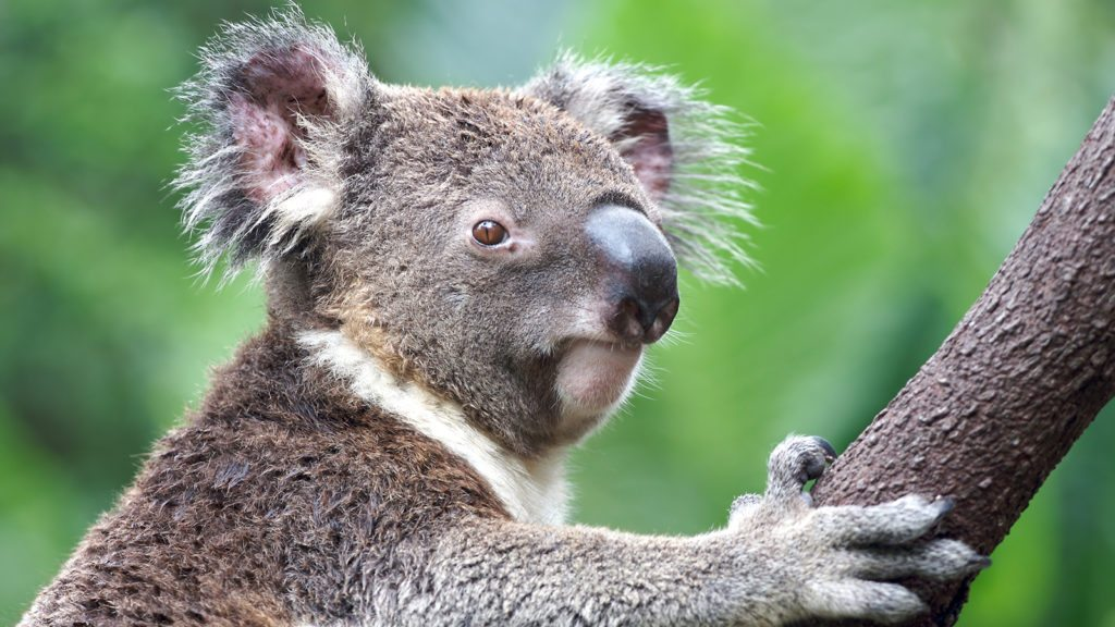 koala-closeup-tree
