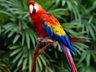 How Can Parrots Talk?