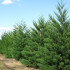How Does A Pine Tree Reproduce?