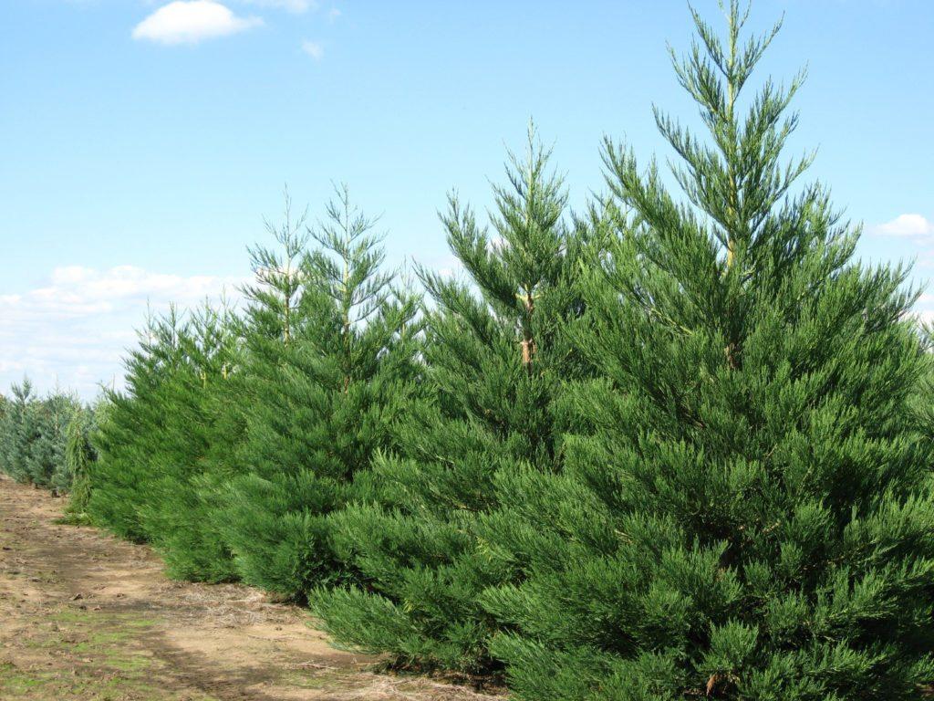 pine-gigant-tree