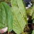 Can Dock Leaves Soothe Nettle Stings?