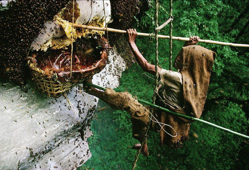 honey-hunting