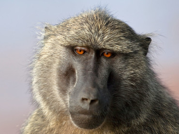 The Origin Of Language Can Be Traced Back to Baboon Barks and Grunts