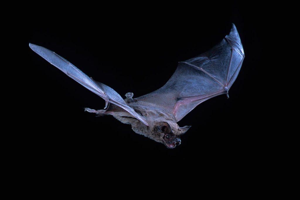 brazilian-bat