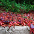 Crab Army – Christmas Island