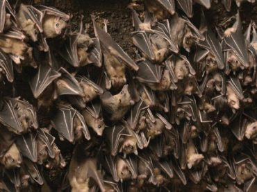 "Why Do Bats ""Like"" to Chirp?"