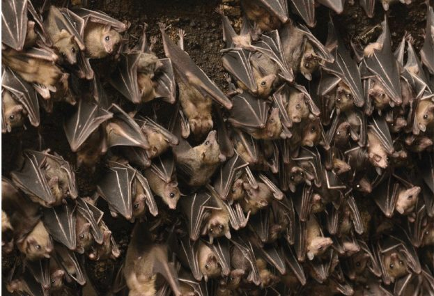 egyptian-fruit-bats