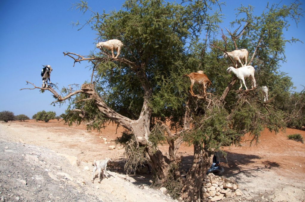 goat-gymnasts