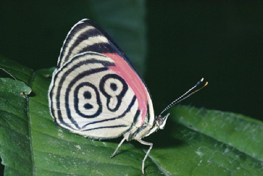 lucky-butterfly