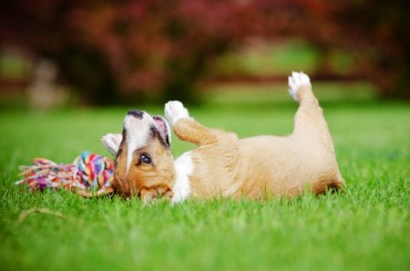 Why Do Dogs Like Rolling in Fox Poo?