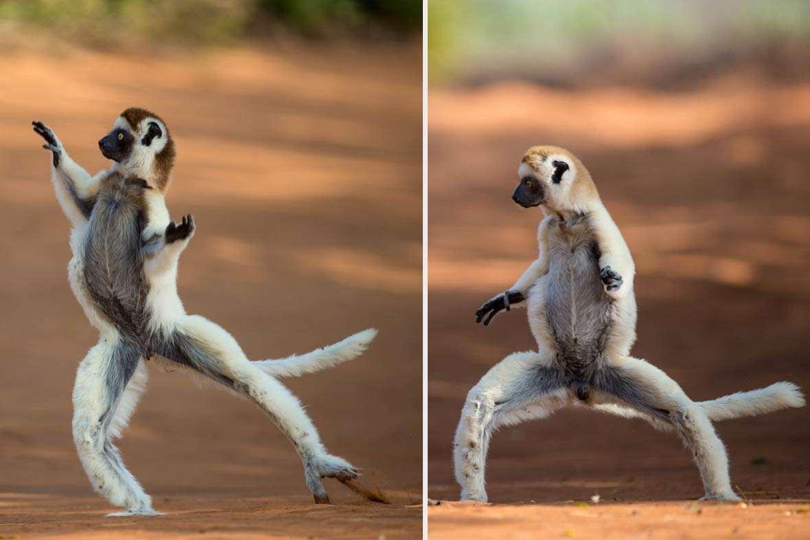 sifaka-lemur