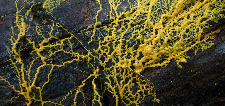 slime-mould