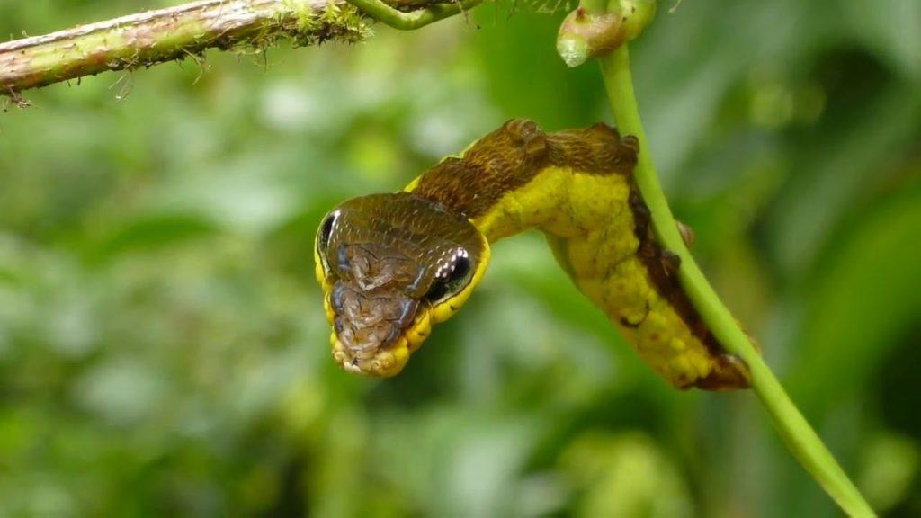 snake-mimic-caterpillar