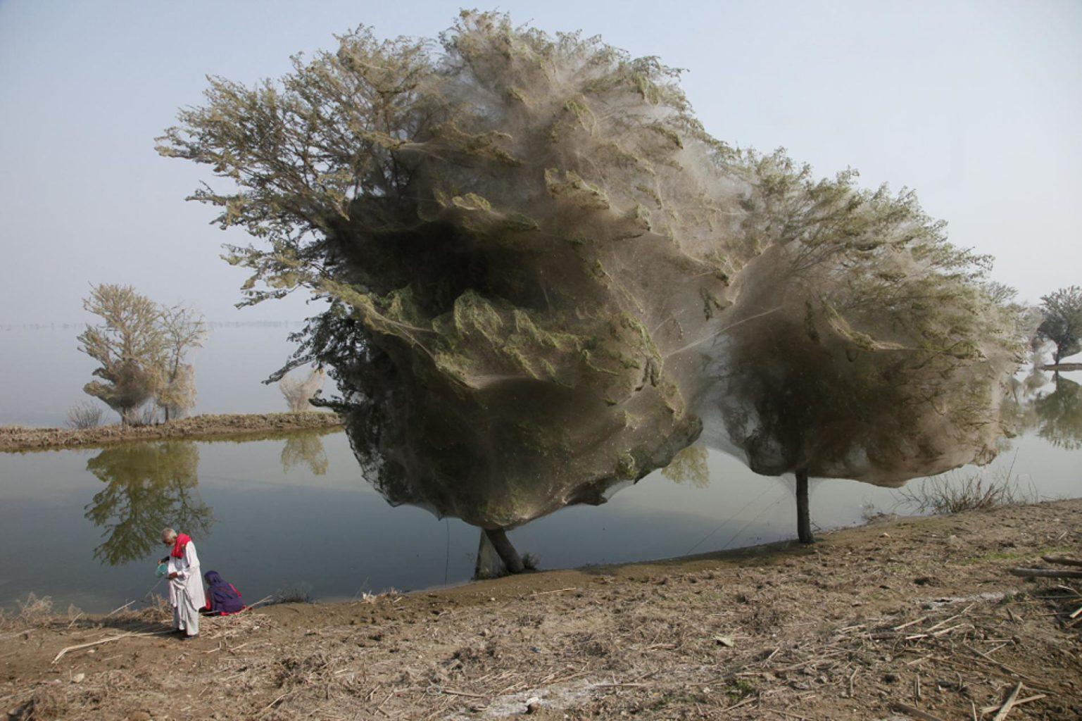 spider-trees