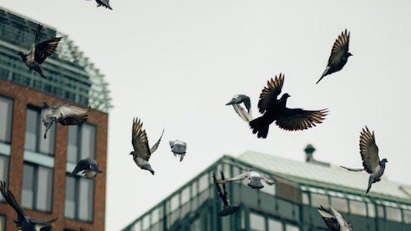 city-birds