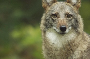Are Coywolves a New Species?