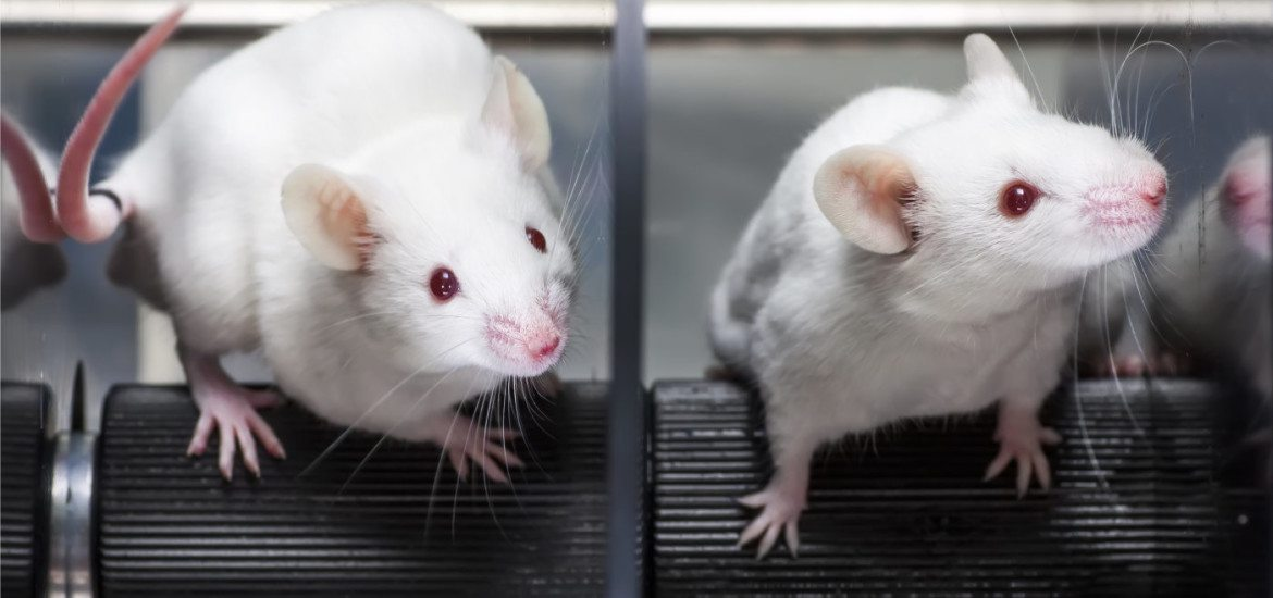 mice-grown-in-lab