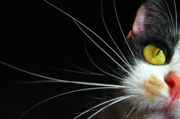 Why Do Cats Have Whiskers?