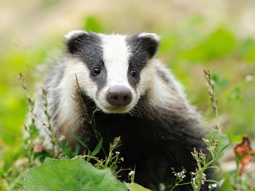 Do Badgers Hibernate?