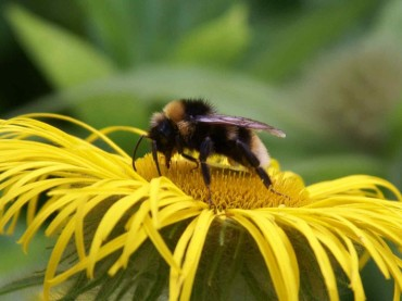 Are Bumblebees Dangerous?