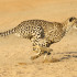 Did You Know? Fast Facts About Cheetahs