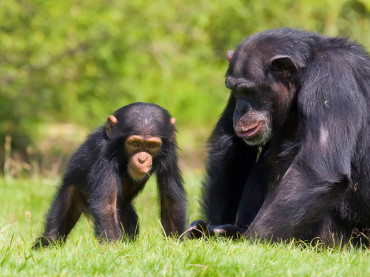 Thank You, Chimpanzees!