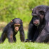 Thank You, Chimpanzees!