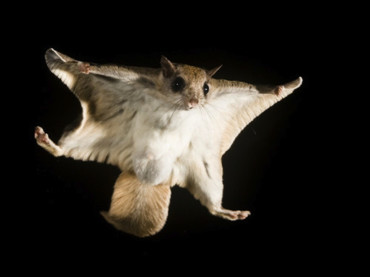 Easy Glider – the Flying Squirrel