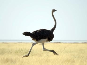 Why Do Ostriches Bury Their Heads in the Sand?