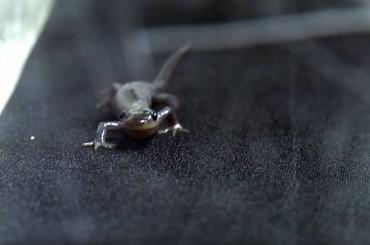 Salamanders Walk For Miles on Treadmills