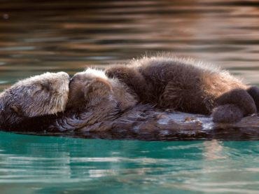 The Amazing World of Sea Otters
