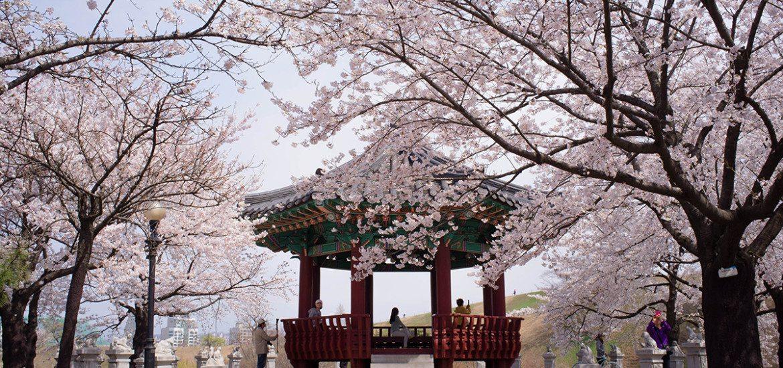 south-korea-cherry-blossom
