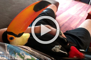 Is This Toucan That Loves To Cuddle Your Type of Pet?