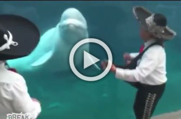 This White Dolphin Loves Listening To a Mariachi Band