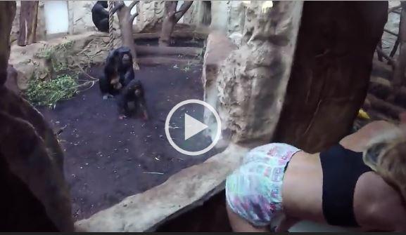 chimp-twerk